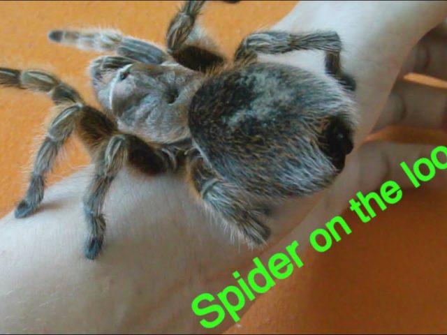 SPIDER ON THE LOOSE PRANK! ( TARANTULA SCARE)